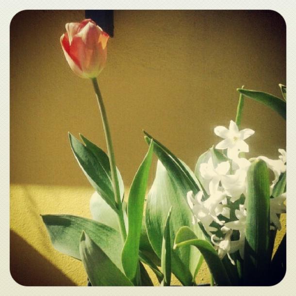 tulipani primavera