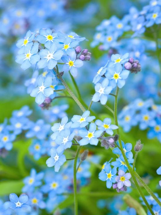 Myosotis non ti scordare di me fiori