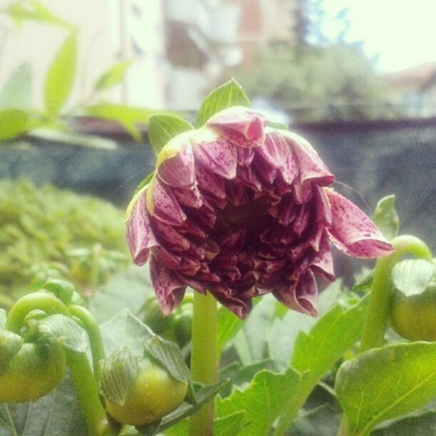 dalia 2 my flowers diaries