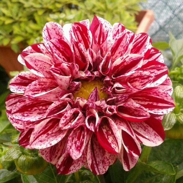 dalia 4 my flowers diaries